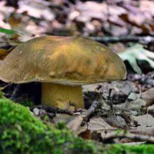 Где растут грибы в Крыму и как отличить хорошие грибы от ядовитых?