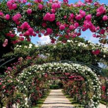 Когда пройдет парад роз в Никитском ботаническом саду в Ялте в 2019 году