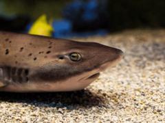 Есть ли акулы в Черном море? Опасные ли они? Какие заплывают в акваторию? Фото и видео видов, которые здесь обитают