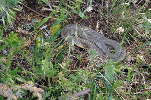 Ядовитые Змеи в крыму