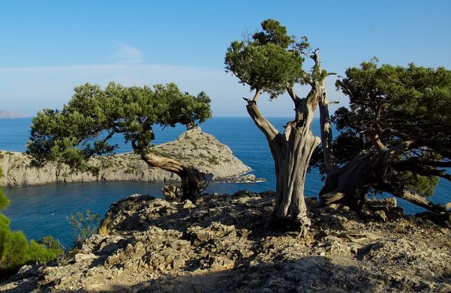 Дуб скальный крымский