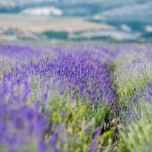 Где находятся лавандовые поля в Крыму? Когда цветет лаванда?