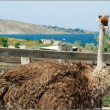 Страусиные фермы в Крыму — в Керчи и Денисовке (Симферополь)