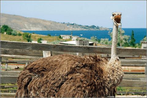 Страусиная ферма в Керчи