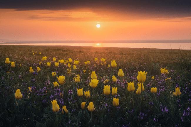 Дикие тюльпаны в Крыму фото