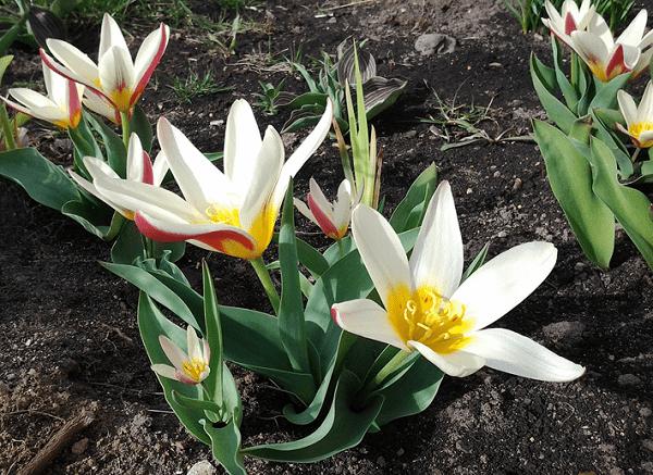 Тюльпан Калье в Крыму