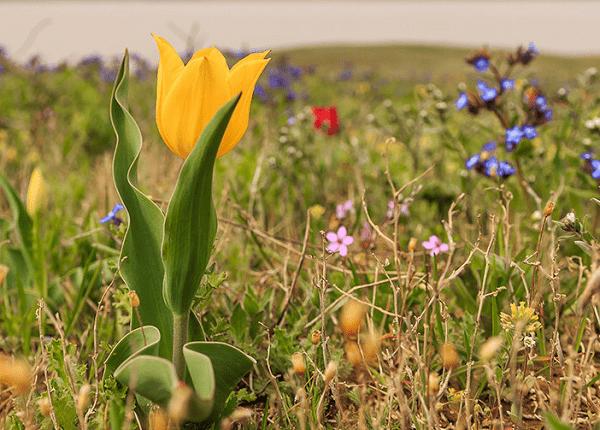 Тюльпан Шренка в Крыму