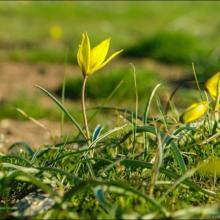 Где растут тюльпаны в Крыму? Когда цветут тюльпаны дикие, в Никитском ботаническом саду, в Опукском заповеднике. Где находятся тюльпановые поля в Крыму?