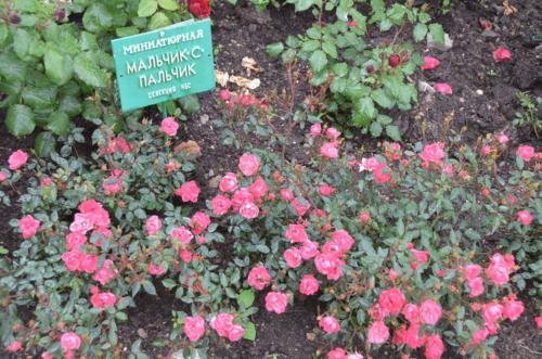 Парад роз в Никитском ботаническом саду фото 2