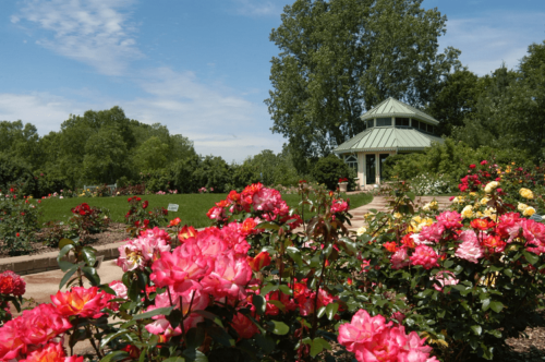 Парад роз в Никитском ботаническом саду фото 3