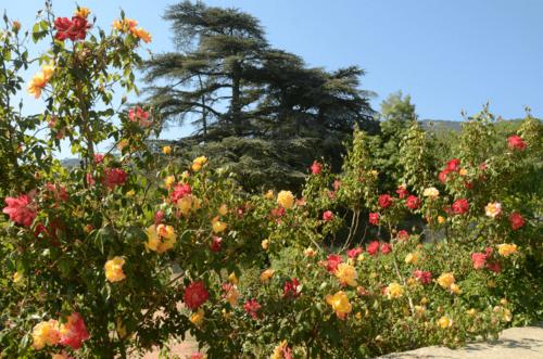 Парад роз в Никитском ботаническом саду фото 4