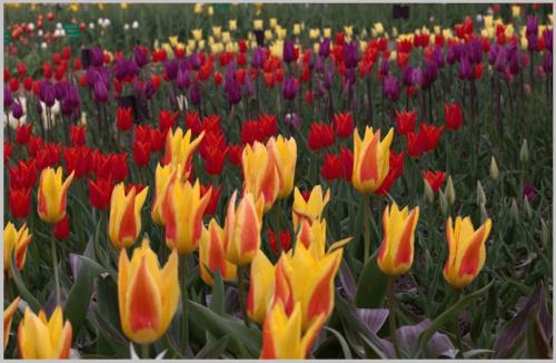 Выставка тюльпанов в никитском ботаническом саду