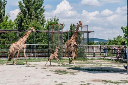 Парк львов тайган -жирафы