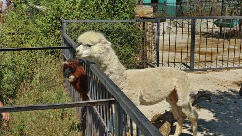 Парк львов тайган -ламы