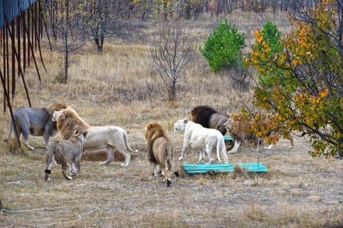 Парк львов тайган -львы