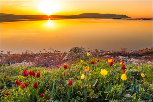 Тюльпаны в Крыму фото 1