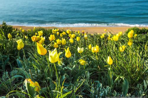 Тюльпаны в Крыму фото 2