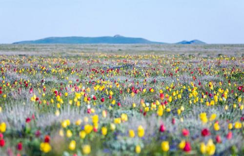 Тюльпаны в Крыму фото 3